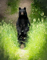 M - Facedown on the Path- Black Bear