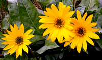 Arrow-leaf Balsam root- by Joan Homer