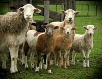 Curious Chops by Frances Weeks