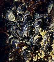 A - Mussles, barnacles and others - Wendy Hesketh