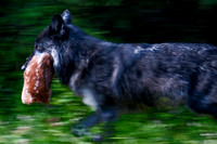 14__Timber Wolf by Wally Fowler